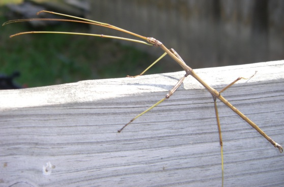 walking stick 3