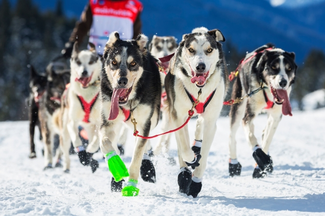 View of sled dog race on snow