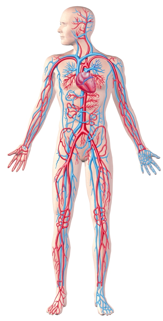 Human circulatory system, full figure, cutaway anatomy illustration.