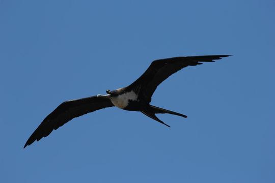 Frigatebird - Max Planck Ins