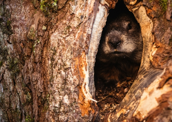 Hiding Groundhog