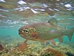 Underwater Rainbow Trout - Oncorhynchus mykiss